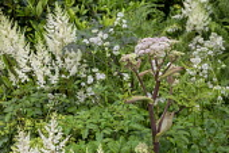 Angelica sylvestris, astilbes, Astrantia major