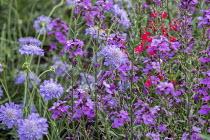Scabiosa 'Butterfly Blue', Erysimum 'Bowles' Mauve', Salvia 'Royal Bumble'