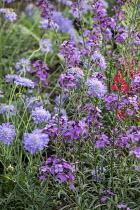 Scabiosa 'Butterfly Blue', Erysimum 'Bowles' Mauve'