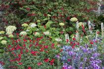 Fuchsia, Hydrangea arborescens 'Annabelle', Salvia 'Royal Bumble', Eryngium 'Big Blue', Erysimum 'Bowles Mauve'