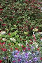 Fuchsia, Hydrangea arborescens 'Annabelle', Salvia 'Royal Bumble', Eryngium 'Big Blue'