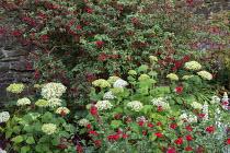 Fuchsia, Hydrangea arborescens 'Annabelle', Salvia 'Royal Bumble'