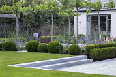 Umbrella trained pleached Platanus × acerifolia trees over terrace, clipped Buxus sempervirens balls, Verbena bonariensis, stone steps