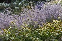 Echinacea purpurea 'White Swan', Perovskia 'Blue Spire', Rosa 'Iceberg'