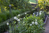 White cactus dahlias in raised beds in cutting garden, low clipped box hedge, apple trees