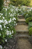 Brick and gravel steps, Rosa 'Iceberg'