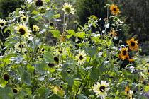 Sunflowers in cutting garden