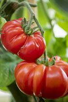 Tomatoes 'Costoluto Fiorentino'