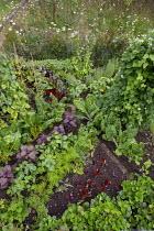 Rainbow allotment plot, Swiss chard 'Pirol', Fordhook Giant' and 'Rhubarb Chard', Carrot 'Deep Purple', Perilla frutescens, Lettuce 'Devil's Tongue', Dwarf French bean 'Purple Teepee', w...