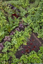 Rainbow allotment plot, Swiss chard 'Pirol', Fordhook Giant' and 'Rhubarb Chard', Carrot 'Deep Purple', Perilla frutescens, Lettuce 'Devil's Tongue', Dwarf French bean 'Purple Teepee'