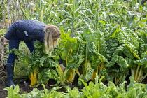 Woman harvesting Swiss chard 'Pirol'