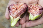 Harvested fig cut in half