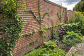 Actinidia, Pyrus communis 'Beth' and 'Comptess de Paris' and Basella rubra trained on brick wall