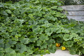 Winter squash growing over compost heap
