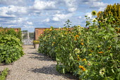 Sunflowers in cutting garden, gravel path leading to gate