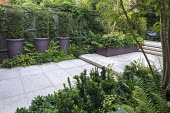 Clipped yew columns in pots, stone patio, multi-stemmed prunus in raised bed underplanted with ferns and euphorbia