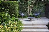 Multi-stemmed prunus and euphorbia, chairs on stone patio, yew hedge, steps
