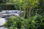 Multi-stemmed prunus underplanted with euphorbia and ferns, outdoor sofas with cushions, rug, yew hedge screen