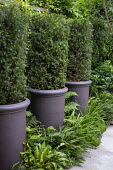 Clipped Taxus baccata columns in large pots underplanted with ferns