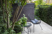 Multi-stemmed prunus, chairs on stone patio, wooden shed, clipped yew hedge