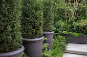 Clipped Taxus baccata columns in large pots