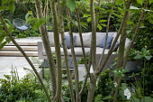 Multi-stemmed prunus in raised bed underplanted with ferns and euphorbia, outdoor sofa with cushions on patio