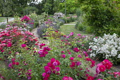 Gravel path through rose garden, lavender, salvia