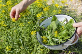 Woman picking mustard flowers with colander