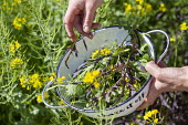Person picking Salad leaves 'Purple Frills' and mustard flowers