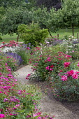 Gravel path through rose garden, Rosa 'Syra', Rosa 'Grande Duchesse Charlotte'