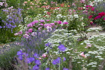 Lavender, Rosa 'General Th. Peschkoff' (Ketten Frères 1909), Rosa 'Jeanny Soupert' (Soupert & Notting 1912), geraniums