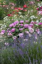 Lavender, Rosa 'Madame Segond-Weber', Rosa 'General Th. Peschkoff' (Ketten Frères 1909), Rosa 'Jeanny Soupert' (Soupert & Notting 1912)