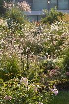 Pennisetum, roses, miscanthus, Gaura lindheimeri, Anemone × hybrida 'Honorine Jobert'