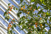 Yellow tomatoes in greenhouse