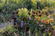 Cutting garden, dahlias, Verbena bonariensis