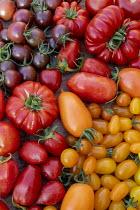Harvested tomato varieties