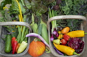 Harvested vegetables in wooden trugs, Chilli peppers, Swiss chard, Squash, Spring onions, Chicory, Runner beans, Tomatoes, Sweetcorn, Kale