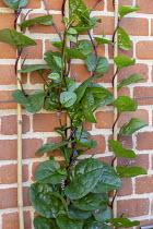Malabar spinach, Basella alba