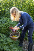 Woman harvesting Perilla frutescens and edible flowers with wooden trug