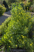 Mustard flowers, Italian Red Ribbed dandelion, Purslane