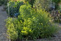 Mustard flowers, Italian Red Ribbed dandelion, Purslane, Wild Rocket 'Grazia'