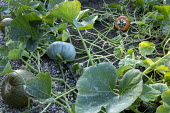 Pumpkin 'Crown Prince' and Cucurbita maxima 'Turk's Turban'