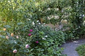 Roses by path, espaliered pear tree against fence