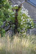 Rosa 'Bobbie James' climbing over rusty metal trellis and old tree