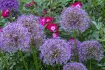 Allium cristophii, roses