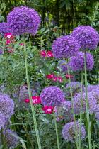 Allium giganteum, roses