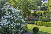 Cherry tree, Rosa 'Guirlande d'Amour', Rosa 'Grand-Duc Jean', alliums, box hedge