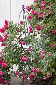 Rose against wall, metal plant support obelisk