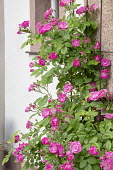 Rosa 'Hugo Maveroff' climbing against wall