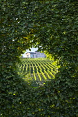 Clipped window in hornbeam hedge, borrowed view of vineyard
